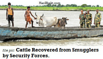Cattle Recovery