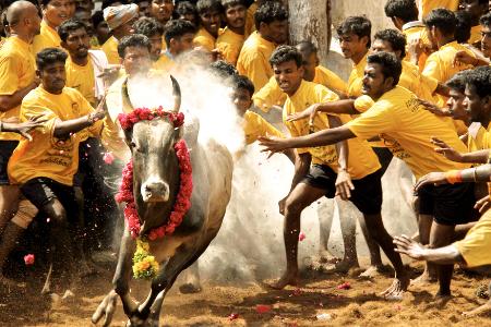 Bull Taming