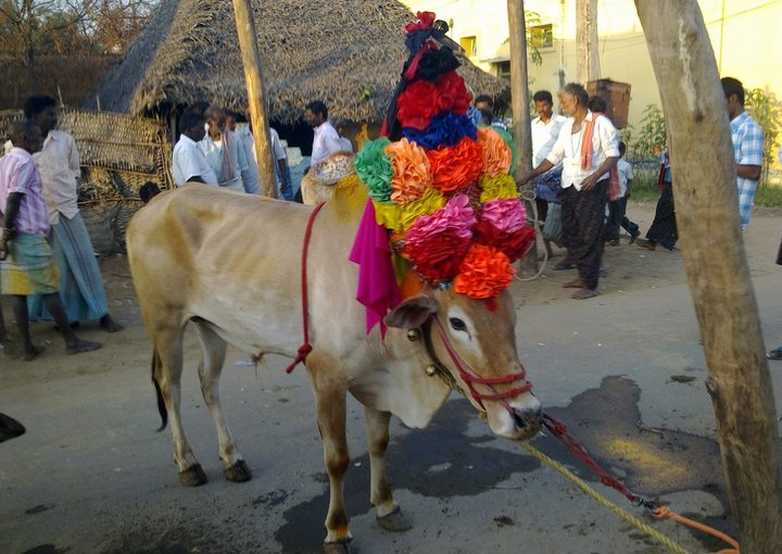 Jallikattu - Kadaladi Village