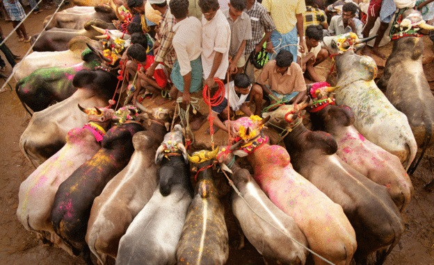 Jallikattu Is Part Of Tamil Tradition