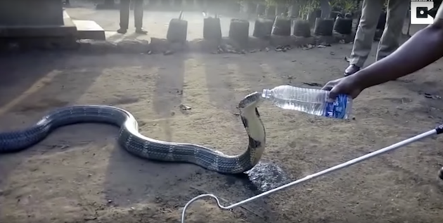 So Severe Drought - King Cobra Drinks Water From A Bottle